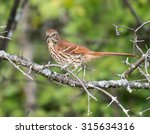 Brown Thrasher Perched On A Tree