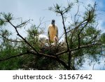 A Pair Of Baby Wood Storks Wit...