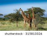 giraffes in serengeti | Shutterstock . vector #315813326