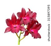 Red Cattleya Orchid Isolated O...