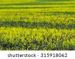 plants growing on agricultural... | Shutterstock . vector #315918062