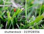 Ladybird Close Up On Grass