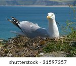 A seagull sat on its nest protecting its eggs in Newquay, Cornwall UK. - stock photo