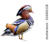 Beautiful Male Mandarin Duck...