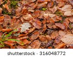 Autumnal Beech Leaves On The...