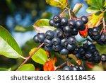 aronia melanocarpa   ripe... | Shutterstock . vector #316118456