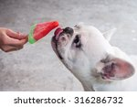 Cute French Bulldog Licking Ic...