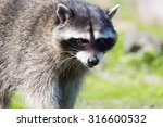 Portrait Of A Raccoon. This...