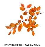 branch of autumn leaves  cherry ... | Shutterstock . vector #316623092