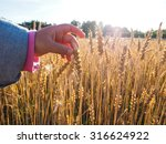Child Touching Wheat Grain On ...
