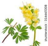 medicinal plant  corydalis... | Shutterstock . vector #316665308