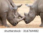 Three White Rhinoceros Bulls ...