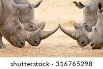 four white rhinoceros bulls ... | Shutterstock . vector #316765298