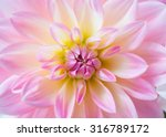 Bud Of Dahlia Flower Close Up