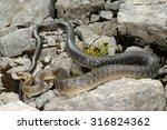 wild big aesculapian snake ... | Shutterstock . vector #316824362