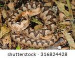 female horned viper  vipera... | Shutterstock . vector #316824428