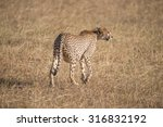 A Heavily Pregnant Cheetah Is...
