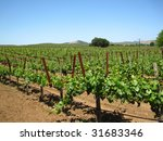 Attractive vineyard in Northern California's Napa Valley, with new spring growth on older vines - stock photo