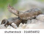 horned viper  vipera ammodytes  ... | Shutterstock . vector #316856852