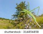 predatory bush cricket  saga... | Shutterstock . vector #316856858