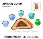 adrenal gland hormone secretion.... | Shutterstock . vector #317218802