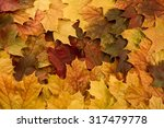 Colorful Maple Leaves....