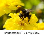 Bumblebee Collecting Pollen ...