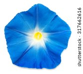 Blue Morning Glory Flower...