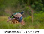 Flying Indian Peafowl  Pavo...