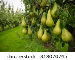 Ripe Pears Ready For Harvest In ...