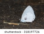 Small photo of Summer Azure, Celastrina ladon neglecta, on ground