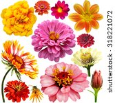 Set Of Colorful Zinnia  Dahlia...