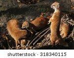 Yellow Mongoose  Cynictis...