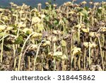 Many Dried Sunflowers Field In...