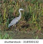 great blue heron  | Shutterstock . vector #318500132