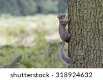 A Grey Squirrel Clings To The...