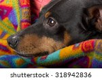 Small photo of Portrait of a pinscher resting at home