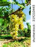 muscat grape bunch on the sun ... | Shutterstock . vector #319210445