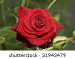 beautiful rose with water drops | Shutterstock . vector #31943479