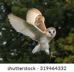 Baby Barn Owl In Flight