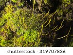 Green Moss On Nature. Close Up
