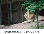 Male White Lion In Zoo