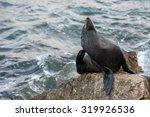 australia fur seal close up...