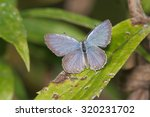 Eastern Tailed Blue Butterfly...