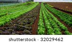 Rows of salad and a green house - stock photo