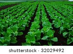 Rows of tobacco plants on a field - stock photo