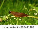 Spanish Slug  Arion Vulgaris ...