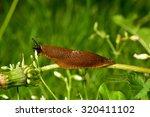 Spanish Slug  Arion Vulgaris ...