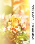 beautiful roses on green bush...   Shutterstock . vector #320467832