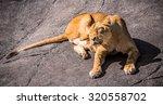 Lioness Lies On Rock Scratchin...